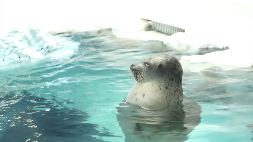 seal floating in water and ice at aquarium