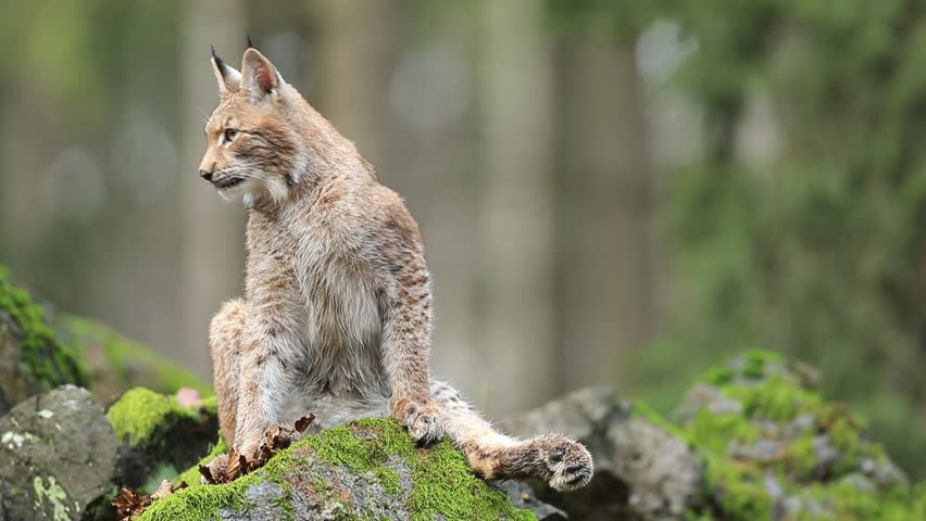 Sitting wild cat Eurasian Lynx on green moss stone in green forest in background
