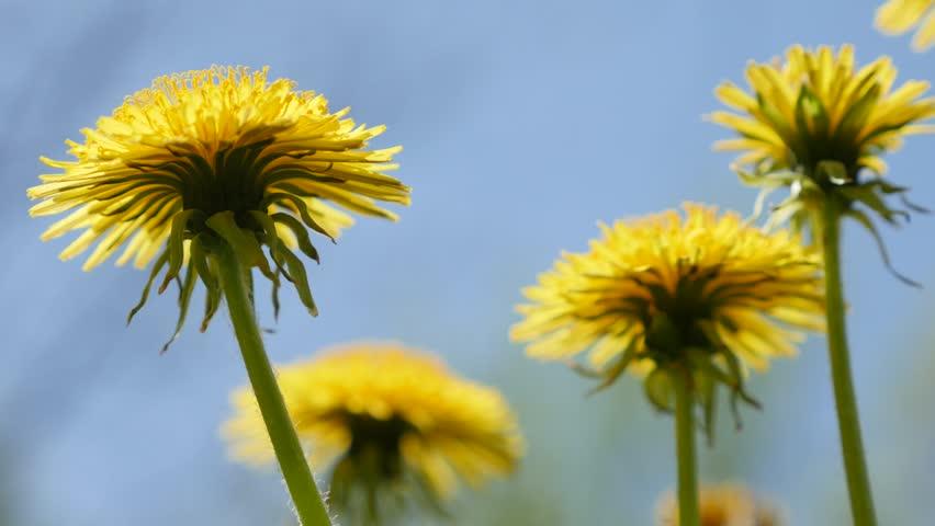 contemporary dandelion head floral - photo #13