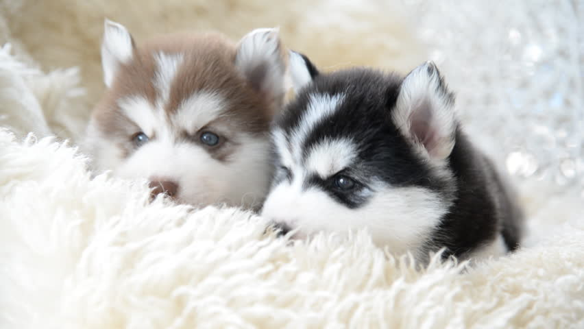 Cute Siberian Husky Puppies Looking Stock Footage Video