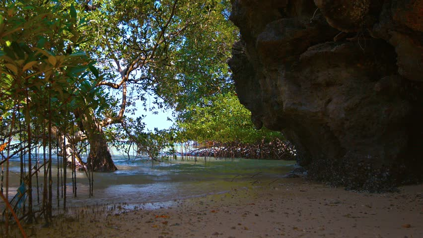 FullHD video - Young mangrove trees. growing up from the wet sand and thriving in the shallow sea water. protected by a natural limstone cliff.