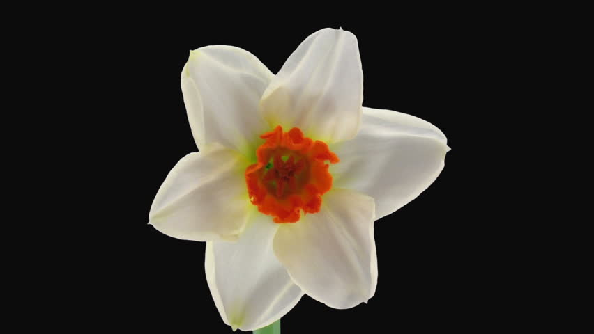 """Time-lapse of opening narcissus """"Barret Browning"""" 1a3 in RGB + ALPHA matte format isolated on black background"""