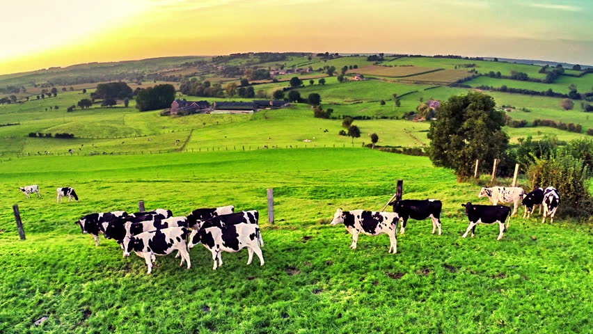 Flying over green field with grazing cows. Full HD, 1080p