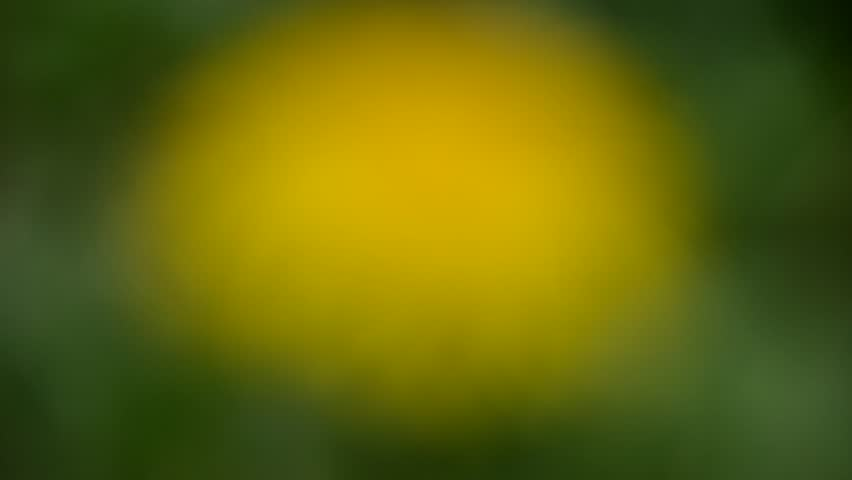 Yellow dandelions in the wind, in the spring  | Shutterstock HD Video #10210145