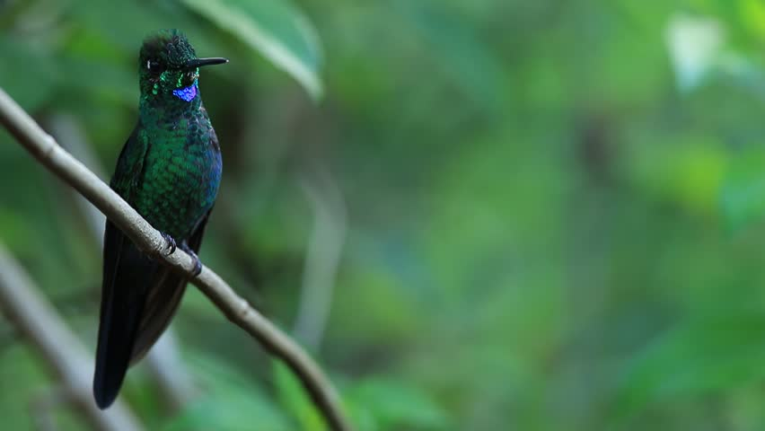 Hummingbird Green-crowned Brilliant, eliodoxa jacula, sitting on the branch, Costa Rica