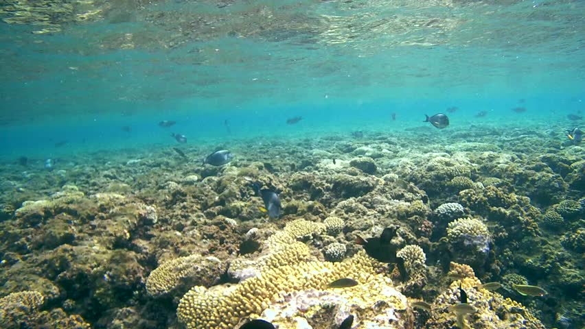 Sohal surgeonfish (Acanthurus sohal) circling over the coral reef, Red sea, Marsa Alam, Abu Dabab, Egypt  | Shutterstock HD Video #10275188