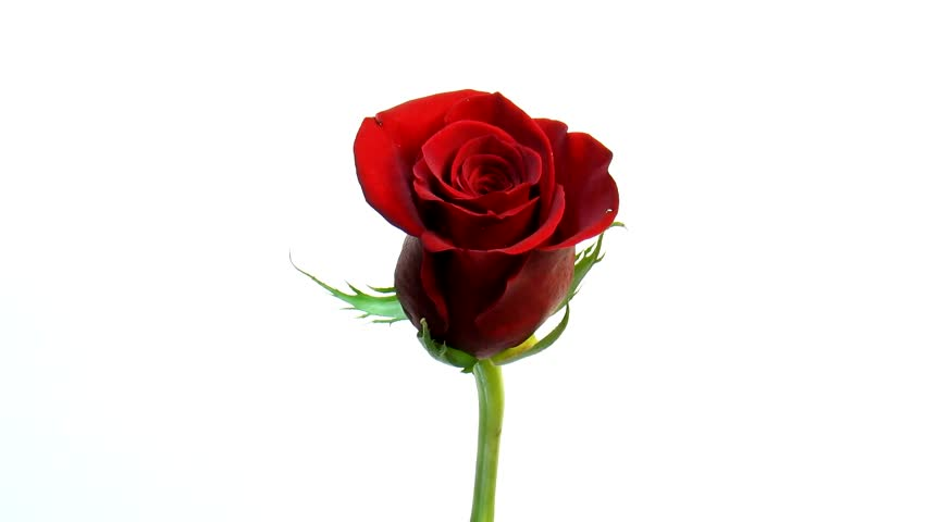 Single Red Rose Flower Stock Images: Time Lapse Of Red Rose Flower Blooming And Wilting Stock