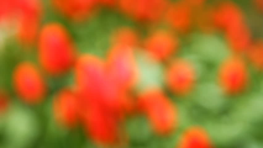 bed of tulips shot in blur background - HD stock footage clip