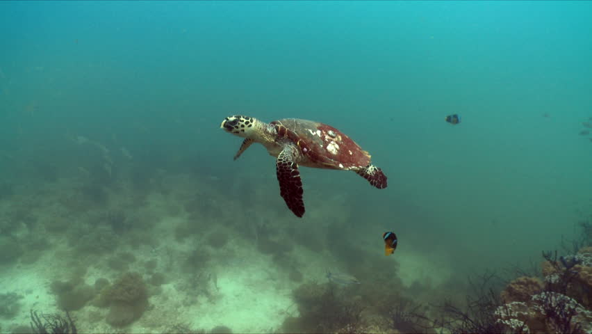 Hawksbill turtle swimming over a coral reef in the bright turquoise waters in the Arabian Sea in Oman.