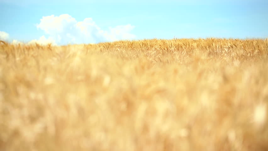 Locked down shot of yellow, ripe wheat field rocking in the wind under a cloudy blue sky. Soft focus. #10492709