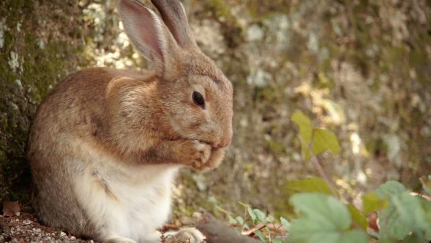 A small rabbit rubbing his nose on ?kunoshima (Rabbit Island), Japan.