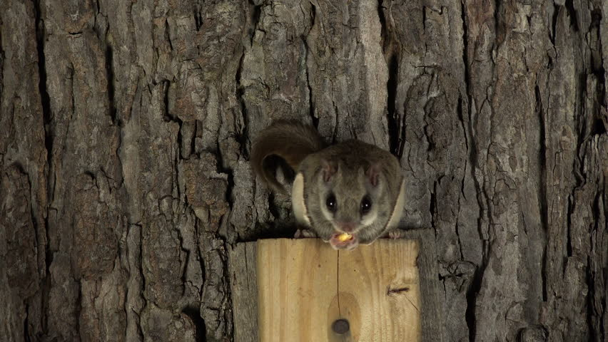 Flying Squirrel Facts- Intresting Facts about Flying Squirrels