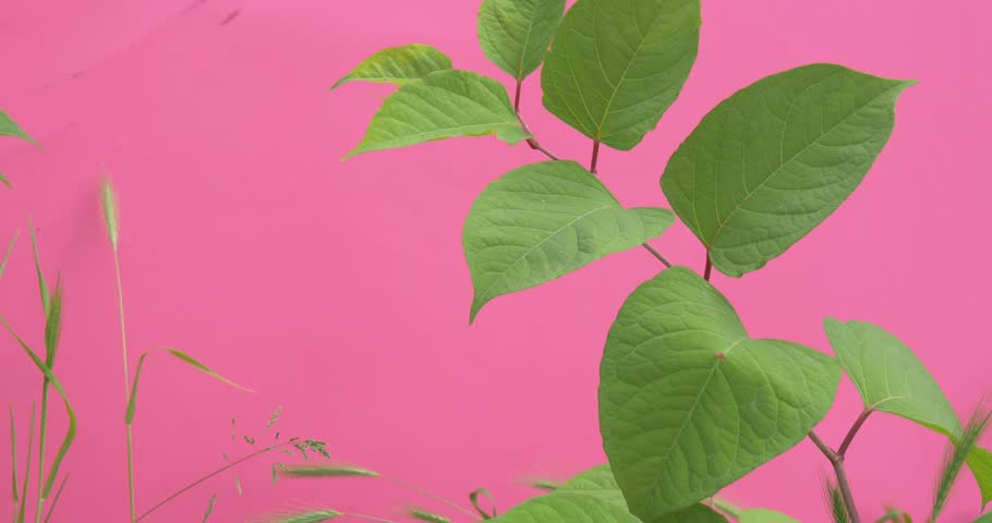 Wind in Green Leaves, Single Branch with Leaves,grass, Weed near branch,pink background,chromakey, Chroma Key, Alfa, studio, outdoor,summer, day