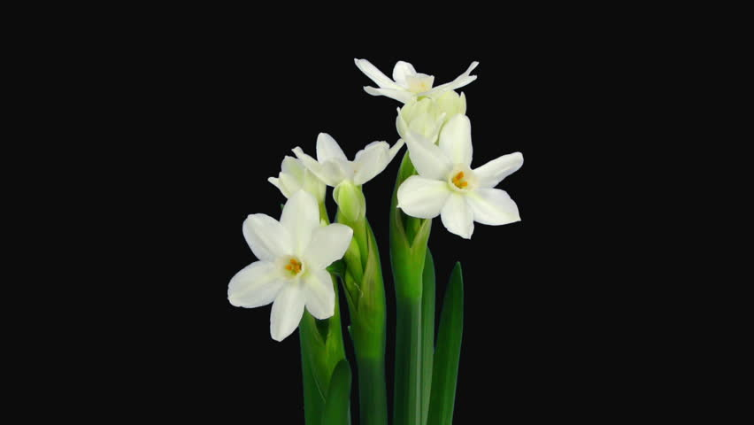 Time-lapse of opening narcissus Paperwhite flowers 1