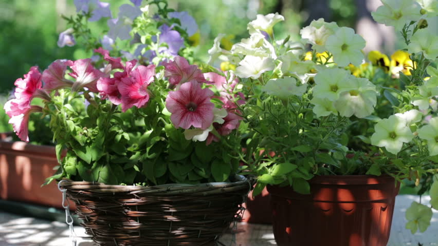 various petunia flowers in a garden - HD stock footage clip