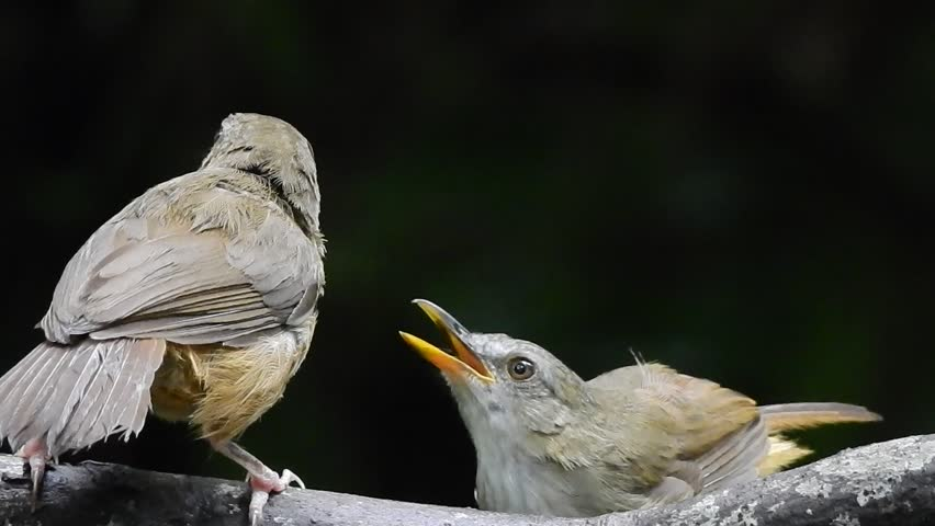 Header of Abbott's Babbler