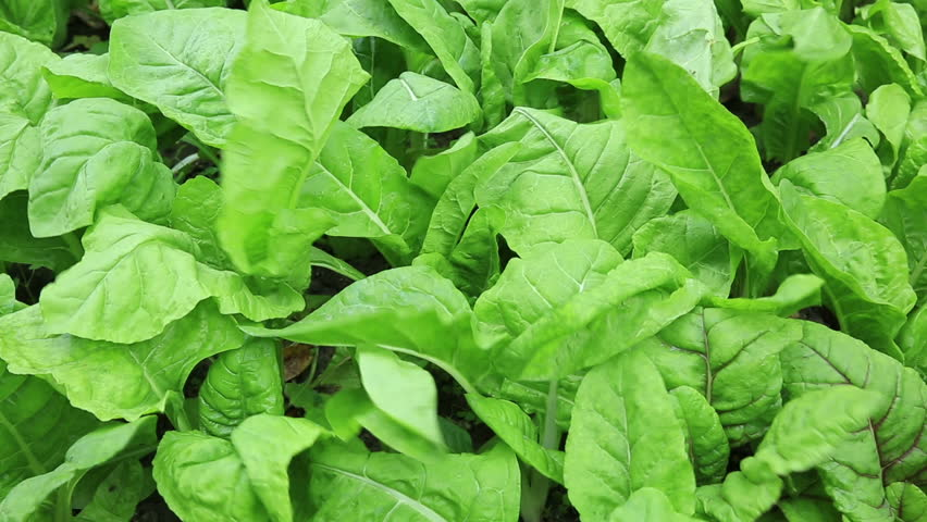 green spinach in growth at vegetable garden  - HD stock video clip