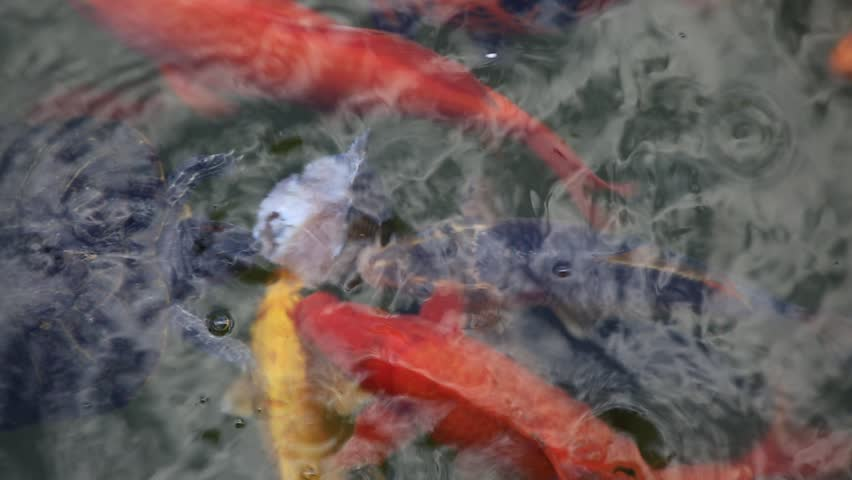 Colorful turtles eat food from surface of murky water for Koi pond water murky