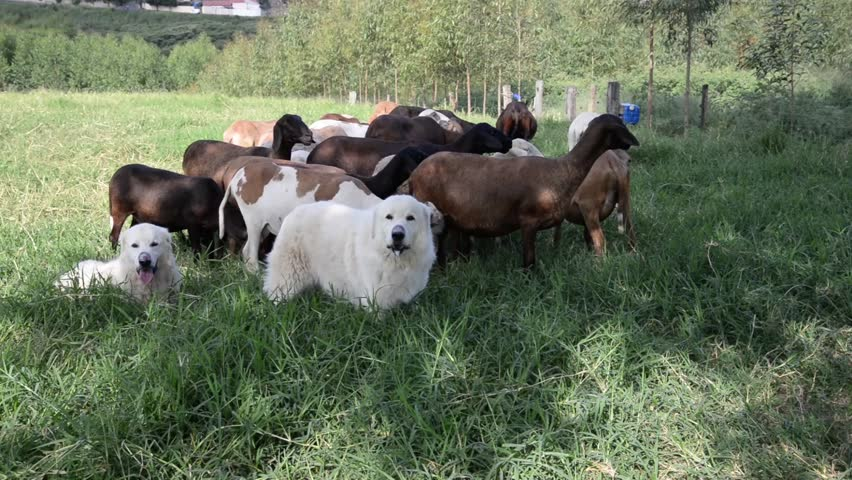 Sheepdog guarding a flock of sheepdog - Pastor Maremano - Guardians ...