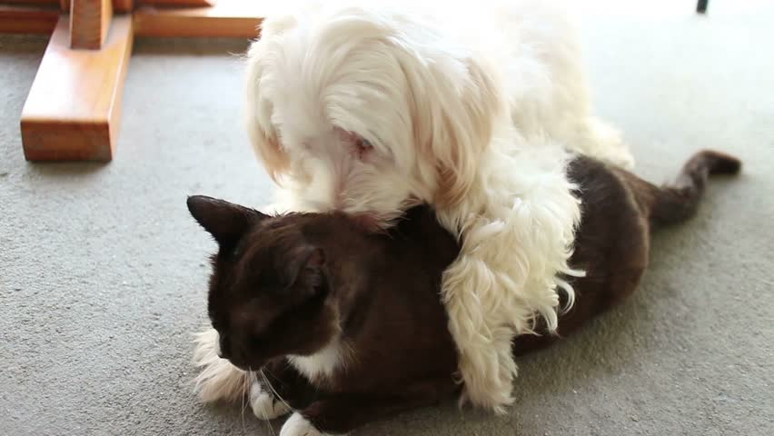 Amorous, Loving White Dog Licks Black Cat (one of a series) -  Medium shot semi profile 2-shot as dog pins cat to the ground and licks it. Dog and Cat are best friends, and cat and dog both enjoy it!