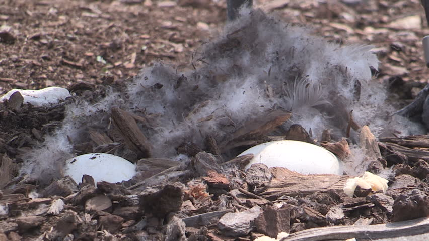 Markham, Ontario, Canada - April 2015 Canada goose makes it's nest and lays eggs in urban shopping mall parking lot. | Shutterstock HD Video #10802480