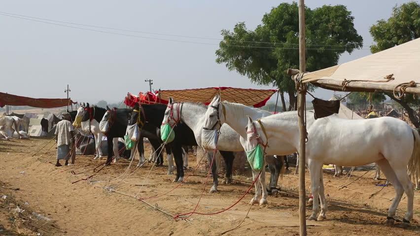 PUSHKAR, INDIA - NOVEMBER 21, 2012: Thoroughbred horses at the Pushkar Camel Fair, on Nov.21, 2012, Pushkar, Rajasthan, India. - HD stock video clip