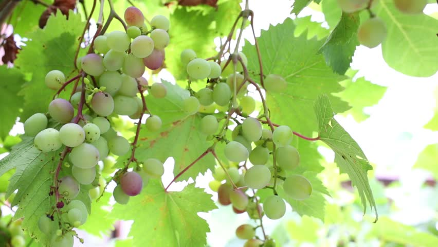Bunches of unripe grapes in the bush on a sunny day - HD stock footage clip