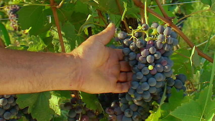 Mani che scelgono uva - Slow-motion