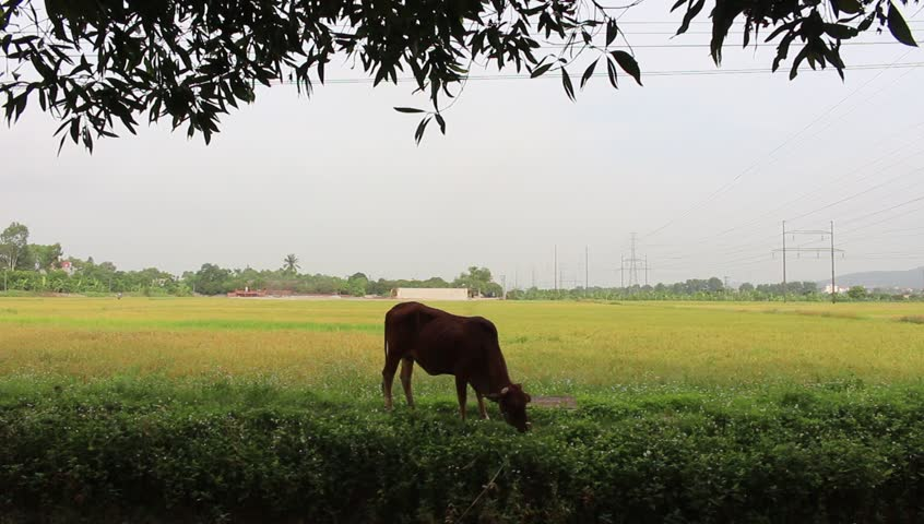 HAI DUONG, VIETNAM, June, 12; a cow is grazing on a pasture grass on June 12, 2015 in Hai Duong, Vietnam  - HD stock video clip