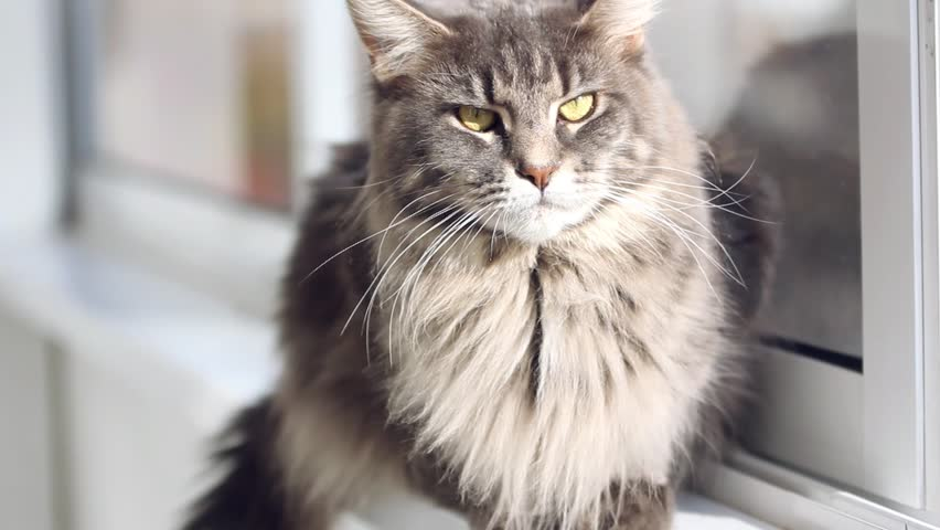 Beautiful blue maine coon cat on windowsill and looking to a window in autumn season. Change focus to outdoor. HD. 1920x1080 - HD stock video clip