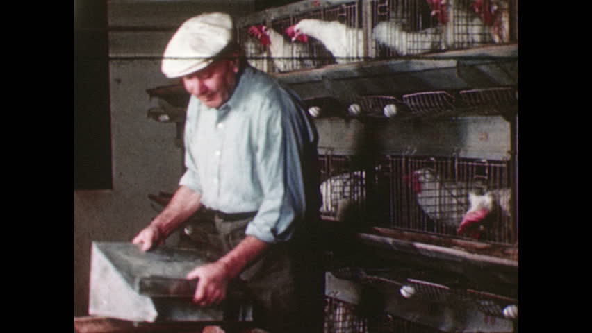 UNITED STATES 1940s  A dairy worker feeds a row of caged chickens using a sliding funnel that releases grain into their cages. - HD stock video clip