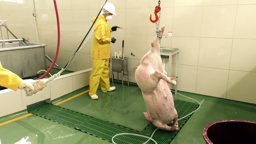 Group of butchers in authentic slaughterhouse lifting a pig carcass on automatic conveyor system, typical protection equipment