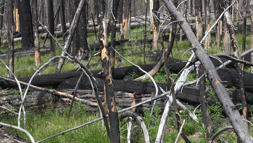 YELLOWSTONE, WYOMING - JUN 2015: Yellowstone fired destroyed forest bull elk dead trees pan 4K. Summer range for 30,000 elk or Wapiti. Devastating forest wildfire destroyed the park several years ago. | Shutterstock HD Video #11040053