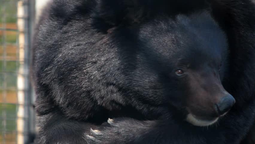 Himalayan black bear - HD stock footage clip