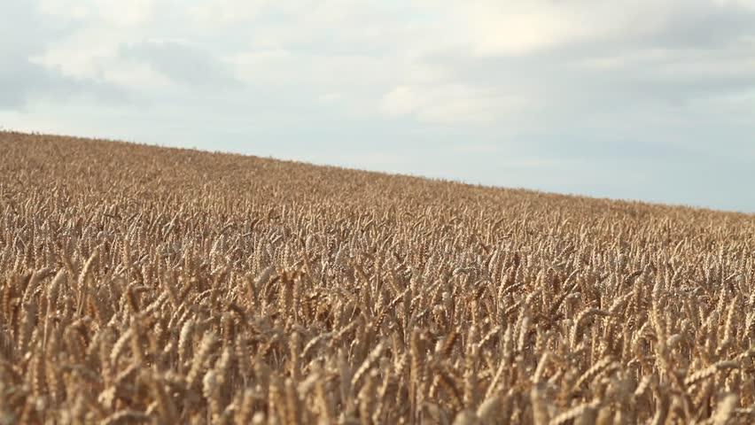 Golden Wheat Field on Hill under Cloudy Sky     #11057765