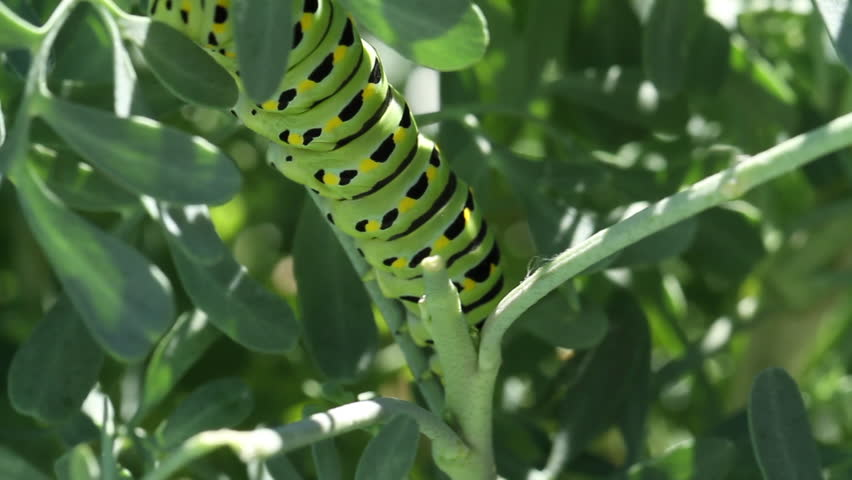 Pull focus on Caterpillar when moving on stem