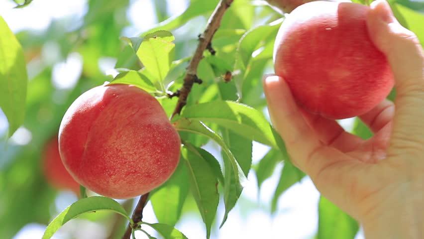 Picking peach fruit.  | Shutterstock HD Video #11080157