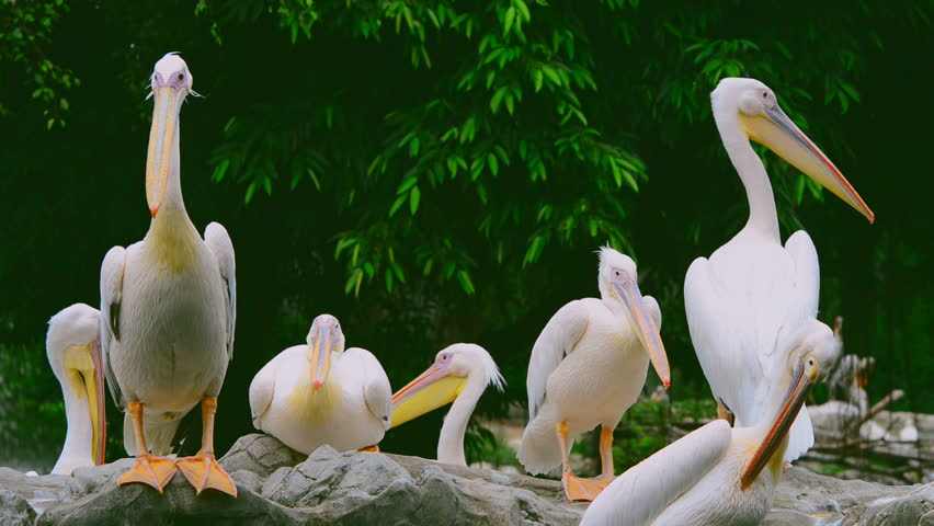 Great white Pelican - HD stock footage clip