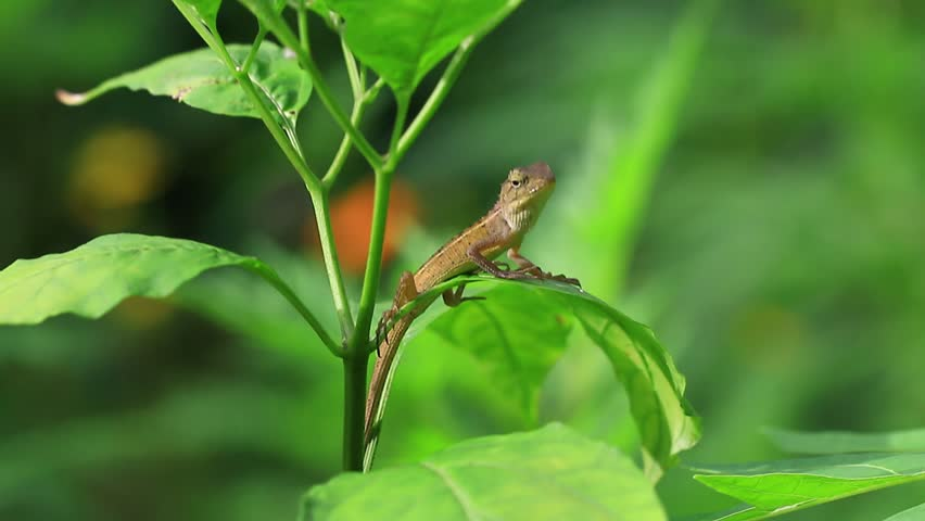 Lizard nodding on a green leaf in a tropical forest, with beautiful green nature background. - HD stock video clip