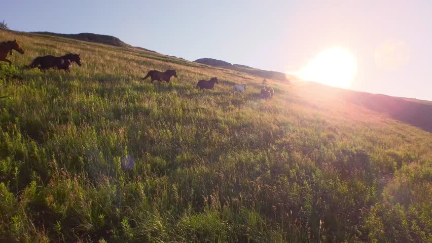 Aerial Herd Of Wild Horses Running On Hill Toward Sunset Mountain View Close Fly By Animal Life Wildlife Adventure Travel