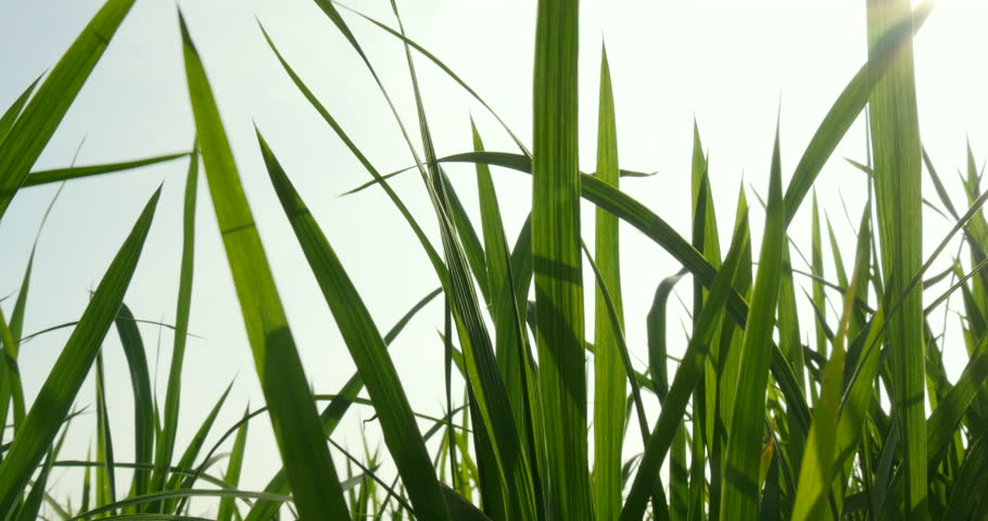 Paddy rice leaves at winding - 4K stock footage clip