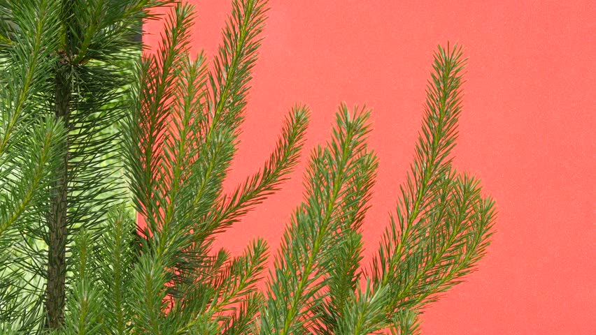 Branches of young pine, swaying branches, needles of tree, pine needles, flowers, grass, branches, stalks, leaves on the red background, Chromakey, Chroma Key, Alfa, outdoors, studio, summer, daytime #11198597