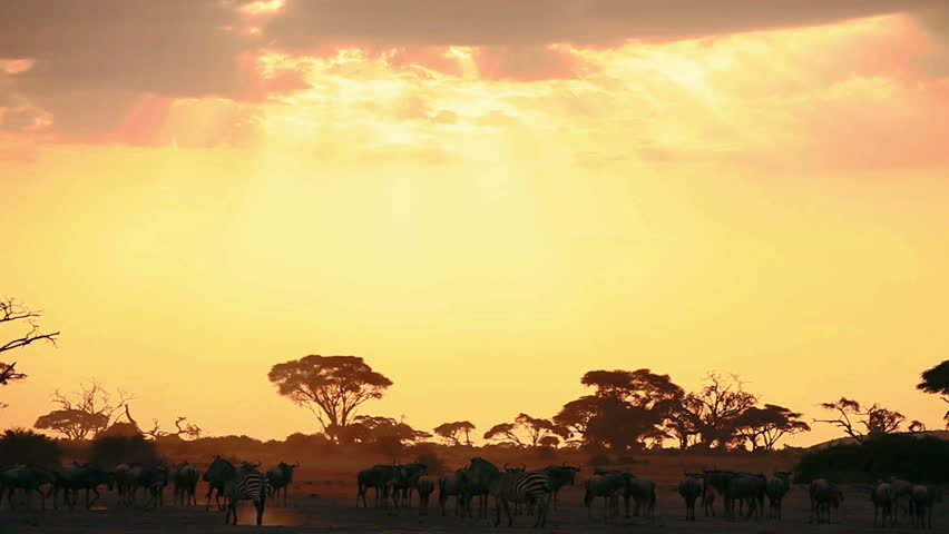 Wildebeests and zebras walking at sunset in Amboseli Park, Kenya