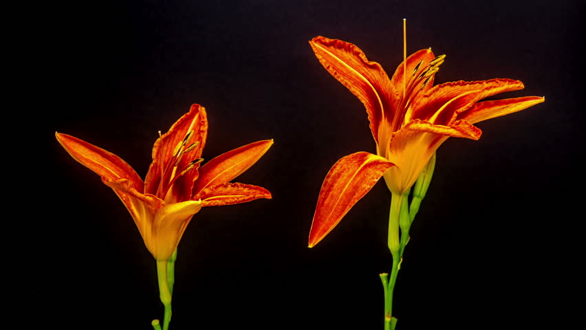 Timelapse Video Of An Orange Lily Flower Blossoming Against A ...