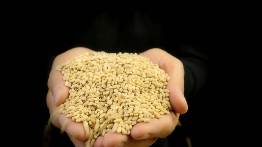Grain in the hands. Man hands holding barley grain. Close-up 4k footage.