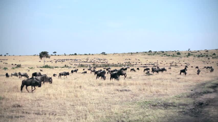 Wild Wildebeest graze savannah, migration Masai Mara, Kenya - HD stock video clip