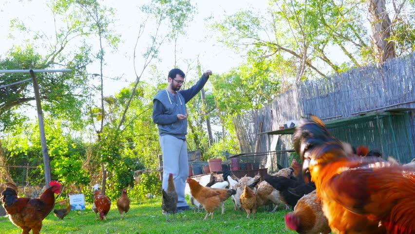 Caucasian farmer man feeding chicken, chick eating food bait