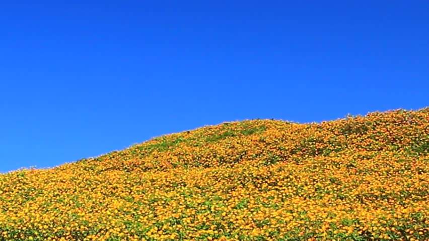 Landscape nature flower Tung Bua Tong Mexican sunflower in Maehongson (Mae Hong Son) Province, Thailand.