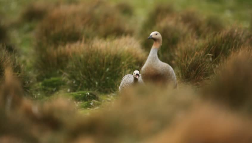 Pair of Upland goose, Chloephaga picta, Falkland Islands