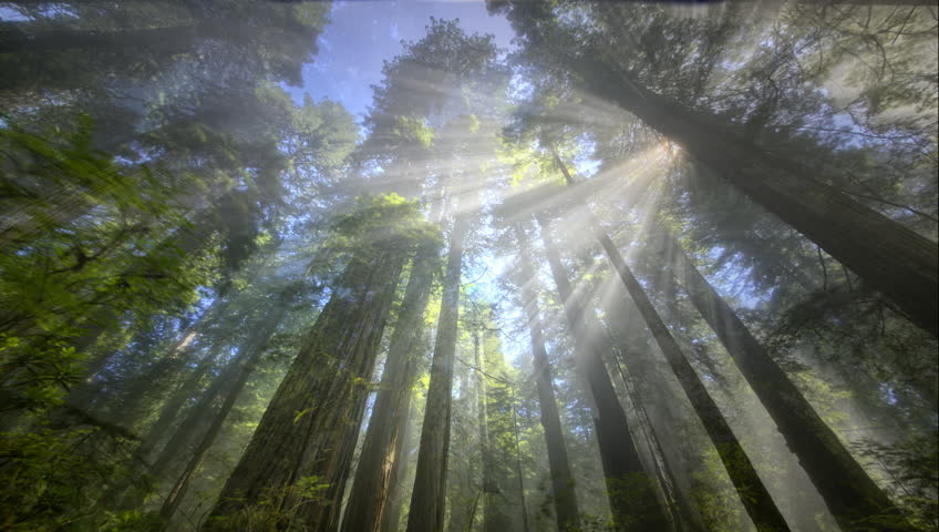 Redwood trees with light rays, Redwood National Park, CA - HD stock video clip
